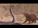 Боевая мангуста!