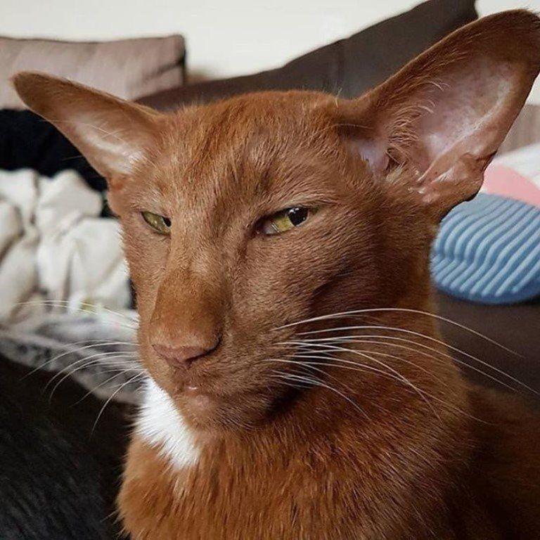 Коты-ориенталы , выглядят так как буд-то их не в Тайланде выводили а в какой ниб...