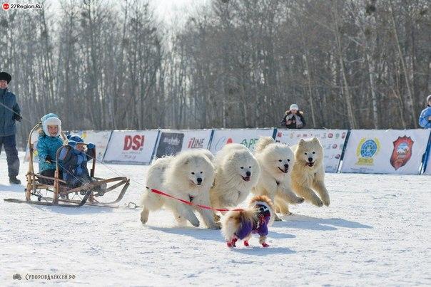 Лайка северная ездовая собака