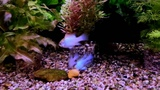Апистограмма рамирези электрик блю (Microgeophagus ramirezi electric Blue)