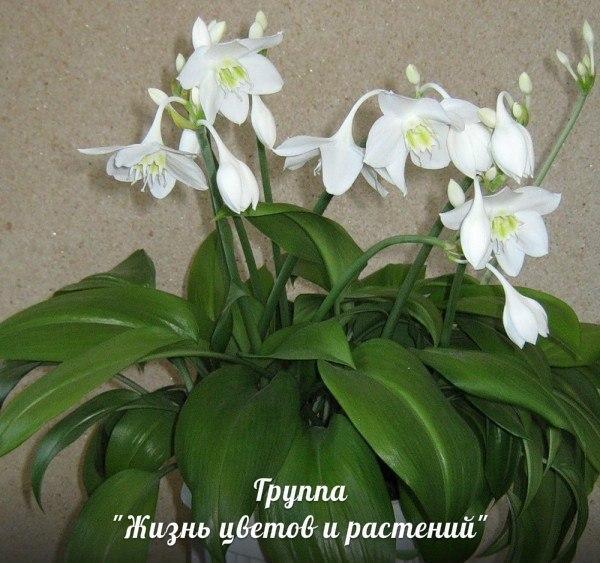домашние цветы беленькие цветочки и тоненькие листики 572043776