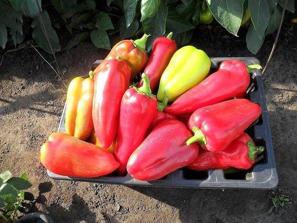 Ошибки, которые лишают вас большого урожая перцев