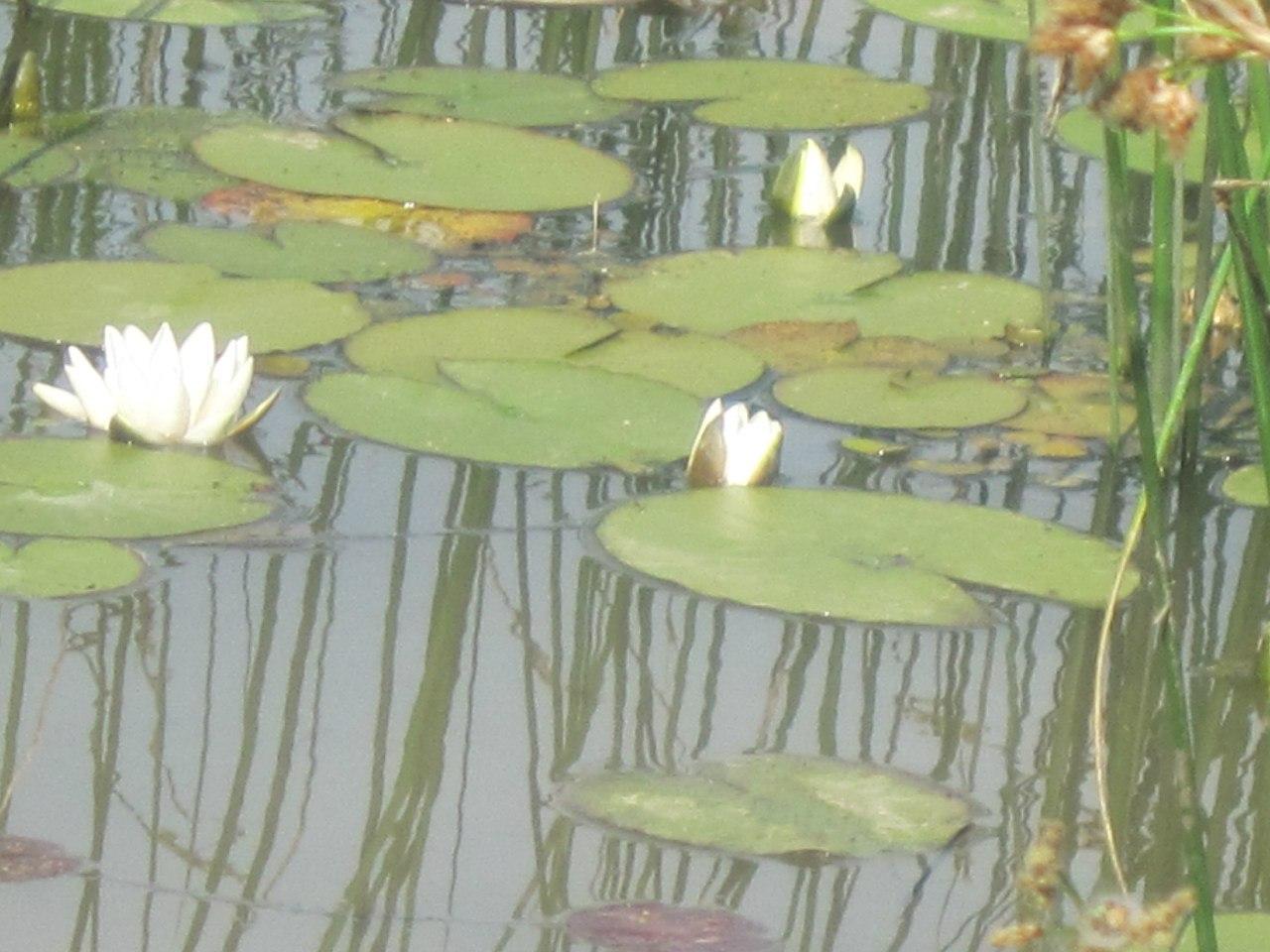 Кувшинки в пруду на ручье (25.06.2013)