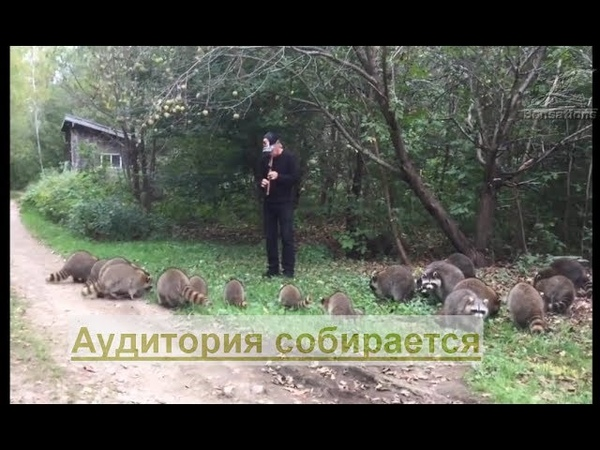 Житель США очаровывает енотов игрой на флейте во время кормёжки в заповеднике