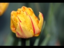 Как мы сажаем тюльпаны гиацинты и нарциссы