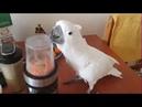 Паника у попугая какаду