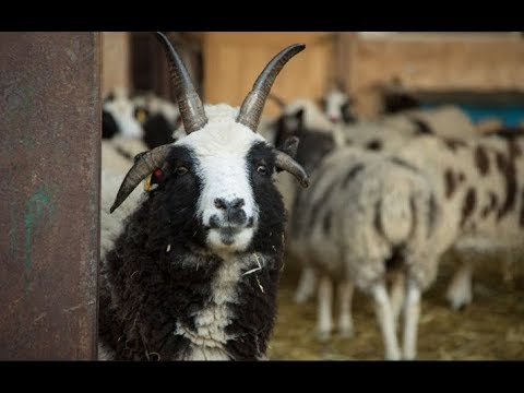 PROPHECY ALERT JACOBS SHEEP Returns To ISRAEL! Flock Miraculously GROWS in End Times