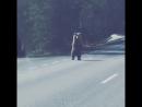 Медведь на шоссе Тарту - Пярну