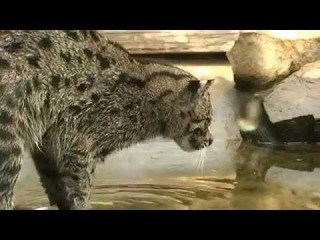 Кошка ловит рыбу !!! Cat is fishing