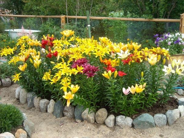 Самые популярные сорта лилий в России. Прекрасные лилии любят многие цветоводы. Она прекрасно сочетается с другими цветами. Чаще всего можно встретить рыжие или белые лилии. Однако в мире