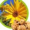 Топинамбур полезные свойства и рецепты