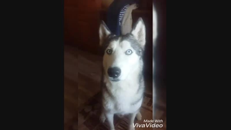 Сибирский хаски кинолог дрессировка собак