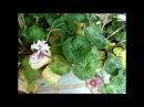 ЦИКЛАМЕН (Cyclamen) Желтые листья у цикламенов. Возможные причины пожелтения