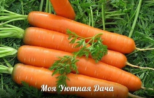 Чтобы морковь урожаем радовала О том как выращивать морковь написано не мало статей и приведено еще большее количество комментариев, где огородники делятся своим успешным опытом выращивания
