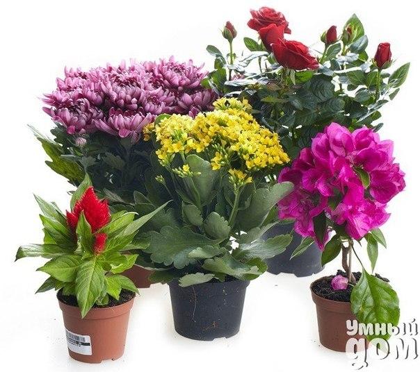 Чудо-раствор для самых безнадежных цветов! 1-2 яичных белка заливаем 200 мл теплой воды и настаиваем неделю, затем разводим в 2 л воды и этим поливаем цветы. Надо сказать запах от раствора не совсем приятный, однако этот рецепт работает. Попробуйте и наслаждайтесь здоровым ростом ваших растений! Также, если цветы увяли их можно оживить несколькими способами: 1. В большой сосуд положите на дно деревянный брусок и поставьте на него горшок с цветком. Налейте в сосуд горячую воду (не кипяток!),…