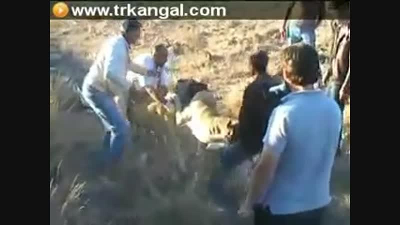 Cemal Dener Legend Kangal Erciyes vs Legend Kangal Uncularin Karabas