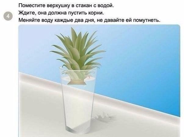 Как вырастить ананас в домашних условиях?