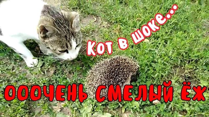 Ооочень смелый ёж, кот в шоке... Very brave hedgehog, a cat in shock ...
