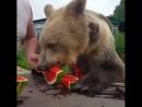 Этот медведь ест арбузы как я! Точно я не ела еще арбуз этим летом(