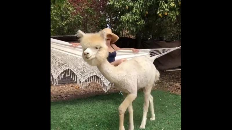 Just hanging around the garden with my new beau, Sven. AlpacaLove