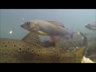 Grayling and trout underwater shooting in the river