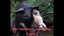 Кошка и свинья. Что общего Смешное видео про кошек/Cat and pig