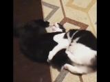 Кажется мои коты не любят друг друга