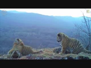 Целое семейство краснокнижных амурских тигров попало в объектив видеоловушки в нацпарке Земля леопарда в Приморском крае