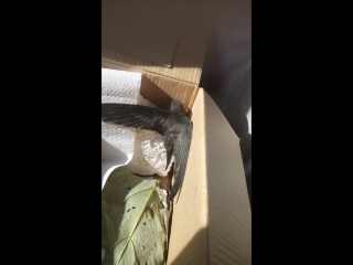 Крылья стрижа (в коробке)