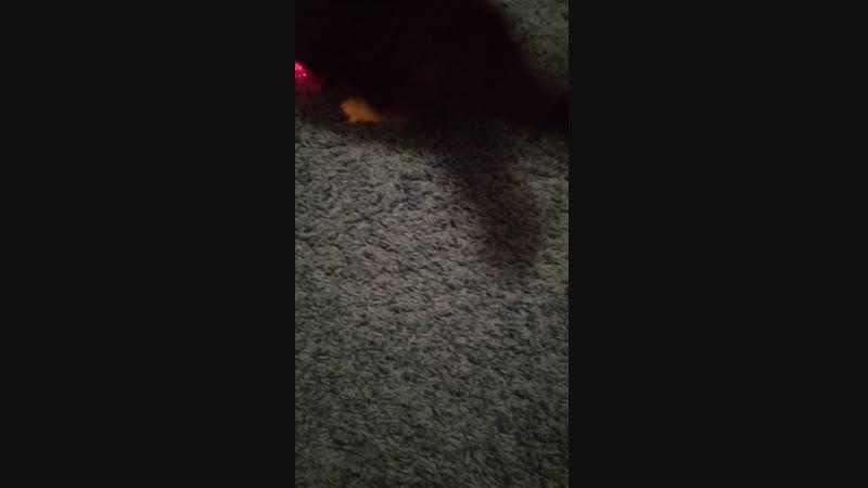 Мой кот Тимоха гоняется за лайзером