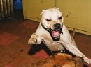 Собачий бой УЖАС Стафорд vs Питбуль !!!!!!!!!!!!!!!!!!!!!!!!!!!!!!!!!!!!