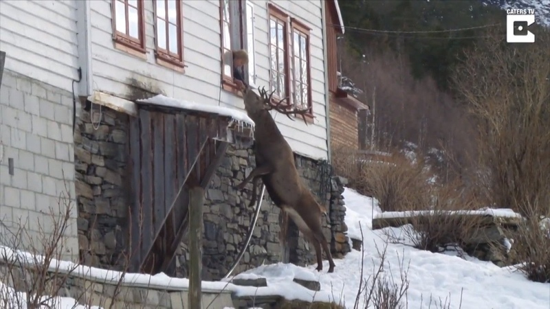 Wild Deer Climbs To Elderly Womans Window Twice a Day For a Snack
