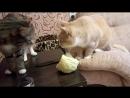 коты-сыроеды
