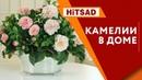 Камелия Уход   Как вырастить домашние цветы 🌺 Интернет магазин Хитсад