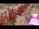 Пионы весной - как нужно ухаживать?