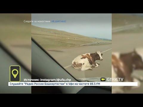 В Башкирии корова заблокировала движение на дороге