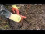 как посадить малину осенью how to plant raspberries in autumn