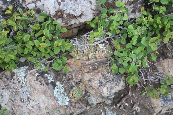 Заметил довольно странное растение, так и не узнал название.  Называют каменный цветок, заячья капуста, каменная роза или алтайская роза — каких только названия не наслушался от всех, включая самого гида.