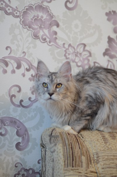 Питомник  Мейн кунов Ugra-Lynx. г.Сургут O9vV74Tac5Y