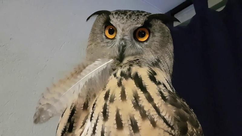Порция вечерних УГУ по просьбам подписчиков. Eagle Owl Yollka says UHU and mimimi