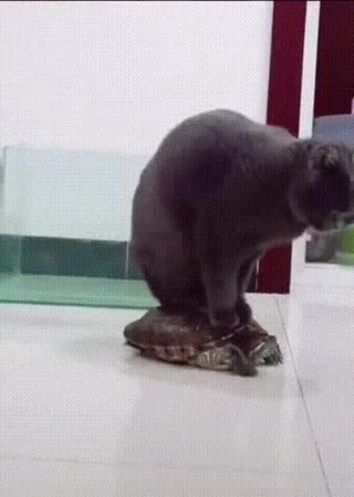 кот верхом на черепахе | доминируй, властвуй, унижай