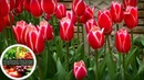 Высаживаем тюльпаны осенью! Все секреты осенних посадок луковиц тюльпанов