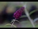 Давайте знакомиться Куст бабочек или буддлея Давида