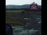 Гуляющий верблюд под Красноярском