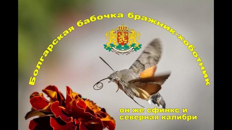Болгарский бражник-хоботник (сфинкс, северная колибри)