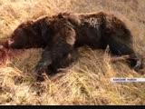 Медведя, который держал в страхе несколько деревень в Канском районе, убили