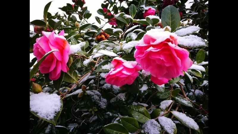Не орхидеи много снега кота и фотографий южного Девона