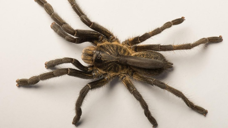 Ceratogyrus attonitifer - new horned baboon spider from Angola