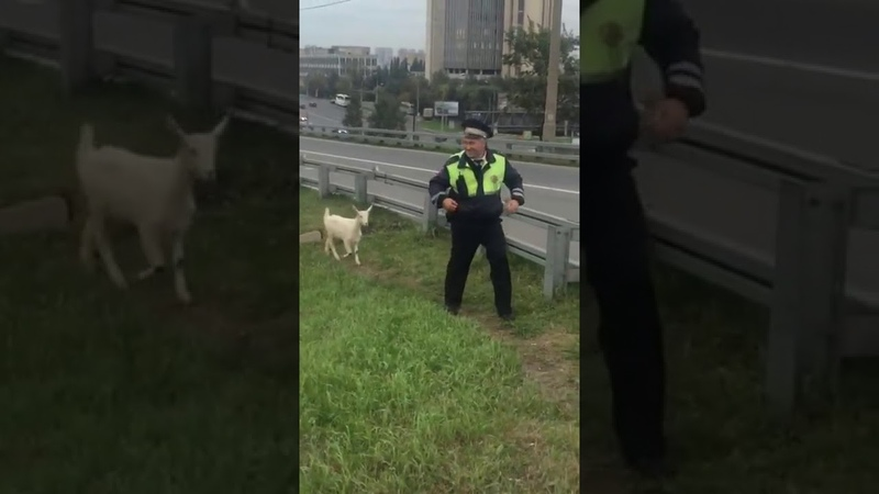 Гаишник и козел Рядом с инспектором дпс идет козел Козел устроил устроил слежку