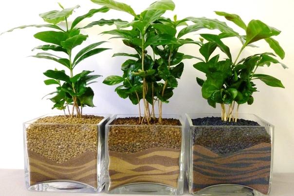 кофейное дерево наверное, каждый цветовод – и начинающий, и опытный — хотел бы иметь в качестве комнатного растения экзотическое кофейное дерево. но препятствием к этому зачастую бывают